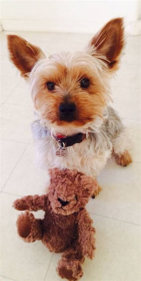 yorkie teddy the 25 best images about my yorkie chester on we fc yorkie and my name