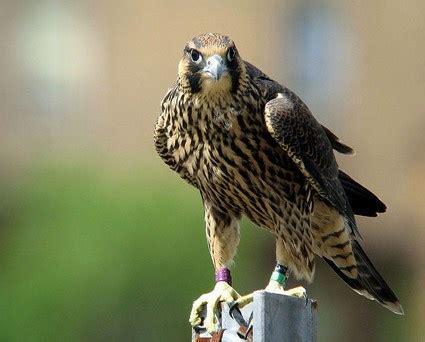 images of a falcon peregrine falcon celebrate birds
