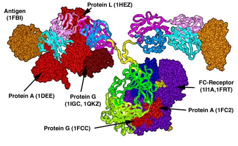 protein l binding aaaaa introduction interactions of antibodies with