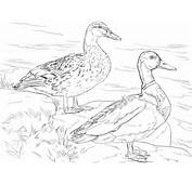Male And Female Mallard Ducks Coloring Page  SuperColoringcom