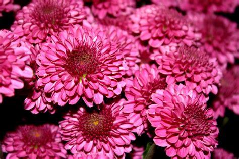 fiori di colore foto gratis crisantemi fiore di colore rosso magenta