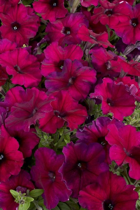 petunia hybrida multiflora celebrity burgundy annual