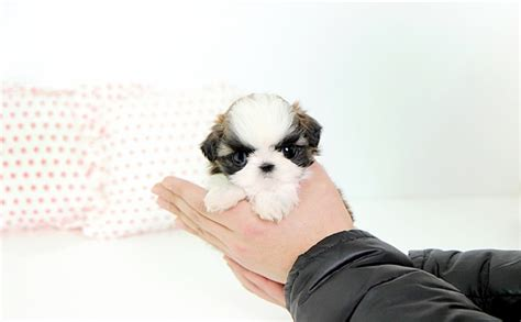 places to buy puppies teacup maltese puppies prices breeds picture