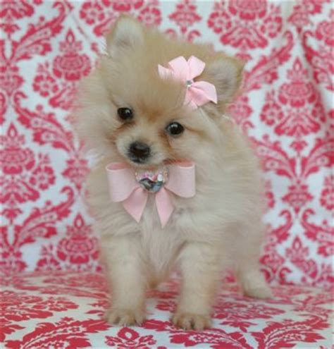 teacup pomeranian miami tiny teacup pomeranian princess adorable teddy tiny tiny