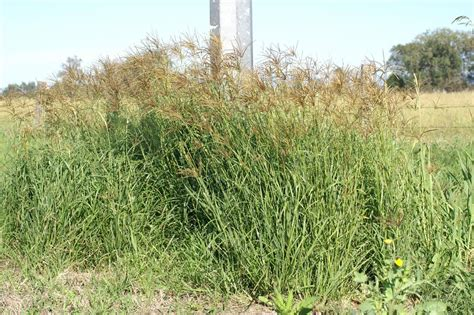 Weed Alert Look Out For Rhodes Grass Gwlapgwlap