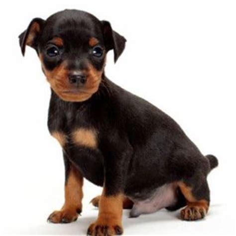 pinscher alimentazione pinscer nano carattere cuccioli e alimentazione