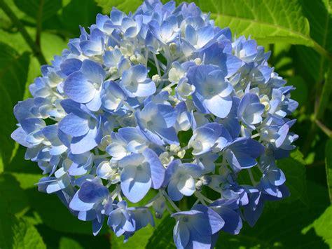 more pictures of blue hydrangeas hydrangeas blue