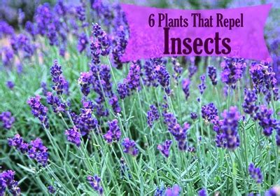 What Plants Keep Mosquitoes Away by 6 Plants That Repel Insects