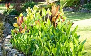 Tropical Foliage Plant - canna lilies burke s backyard