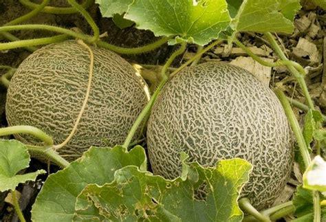 coltivare meloni in vaso coltivazione melone ortaggi