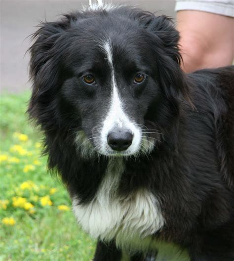 border collie puppies for adoption border collie rescue of minnesota bcrmn
