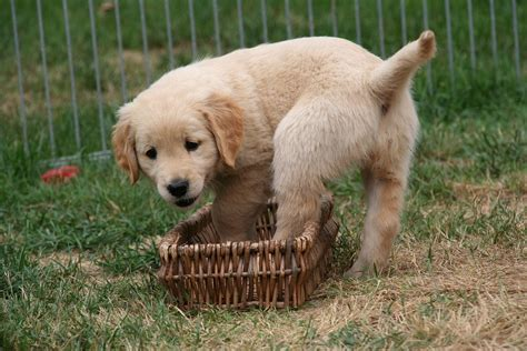 golden retriever puppy commercial free photo golden retriever puppy puppy free image on pixabay 2706688