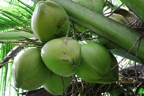 kelapa hijau kasiat dan cara penggunaannya problem sejuta khasiat buah kelapa 1 tanaman obat tradisional
