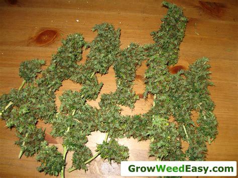start growing cannabis  grow weed