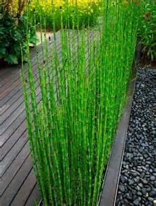 une bordure d equisetum japonicum pr 234 le japonaise plante