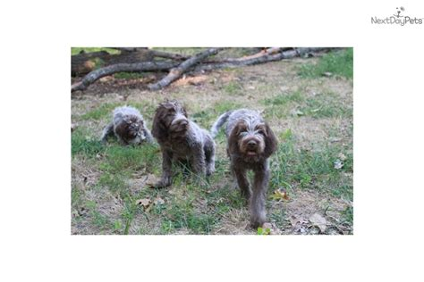 wirehaired pointing griffon puppies price wirehaired pointing griffon puppies wirehaired pointing griffon puppy for sale near