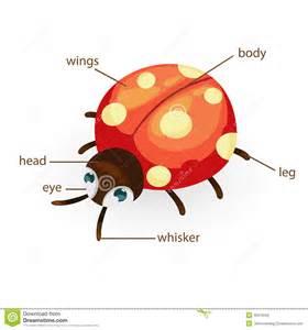 Ladybug Body Diagram » Home Design 2017
