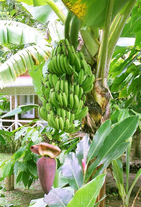 how often do banana trees fruit yellow color wallpapers the state of bananas