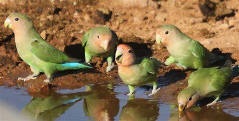 pappagalli inseparabili alimentazione agapornis roseicollis inseparabile dal collo rosa