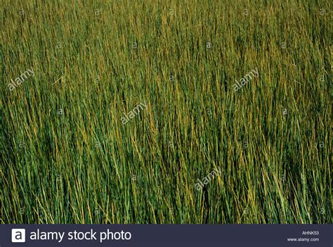 South Grass by Sweet Grass Growing In A South Carolina Tidal Marsh Stock