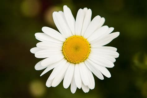 fiori simili alle margherite crisantemo variet 224 coltivazione e cura