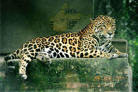 imagenes de jaguar hembra el mundo animal felinos genero panthera le 211 n leopardo