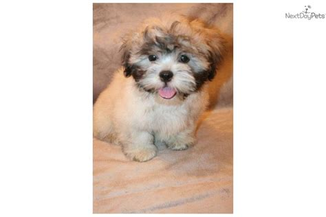havanese maltese puppies havanese puppy for sale near dallas fort worth 913645cd 0711