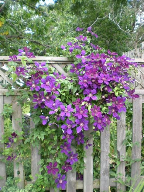 clematis climbing plant 17 best ideas about clematis plants on