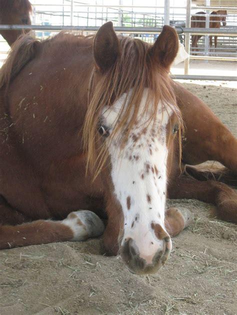 strumming pattern white horse 28 best horse markings galore belton pattern images on