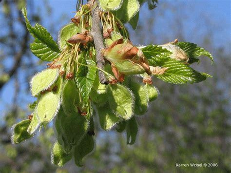 elm tree fruit ulmus americana american elm photo gallery