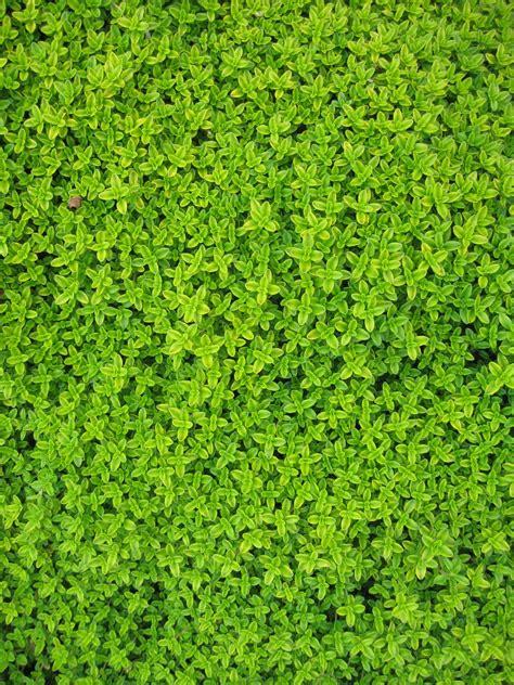 gambar menanam merambat halaman rumput daun bunga