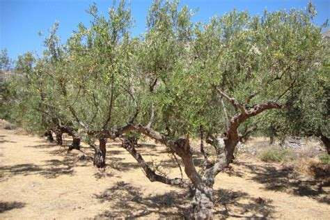 how much does olive trees cost olive is expensive so what you re buying the