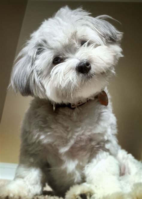 havanese cuts pictures of havanese haircuts breeds picture