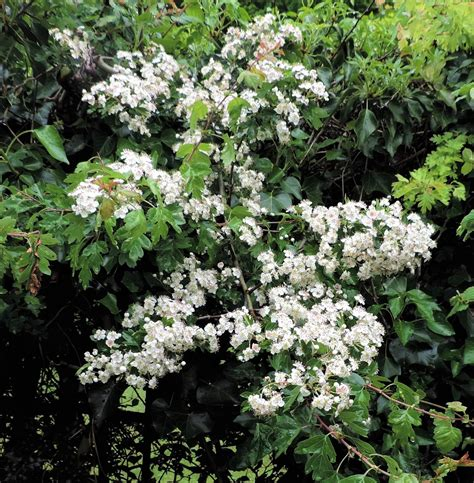ramblings of a naturalist house circuit 7 white flowering trees and shrubs