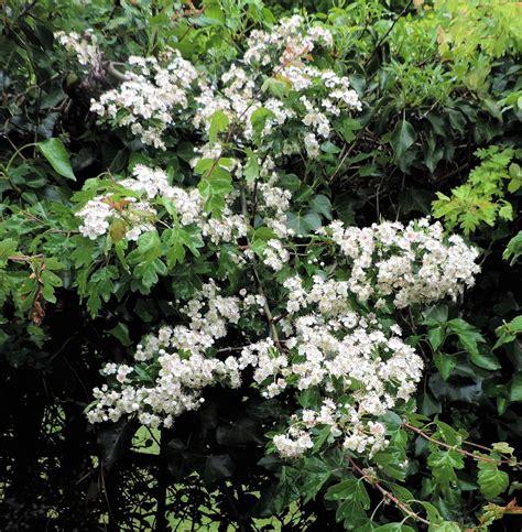 southern flowering shrubs ramblings of a naturalist house circuit 7 white