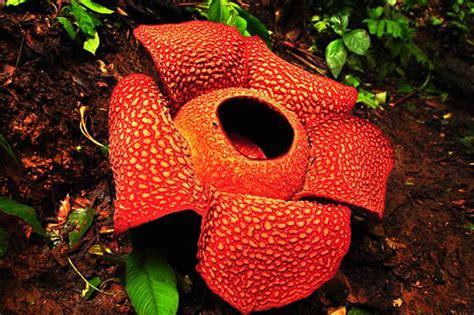 wallpaper bunga bangkai raflesia arnoldi nature picture
