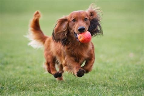 Dachshund Shedding Excessively by Dachshund Miniature Haired 15 Interesting Facts