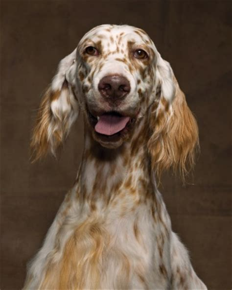 miss ali english setter dog breeds 17 best images about llewellin setters on pinterest