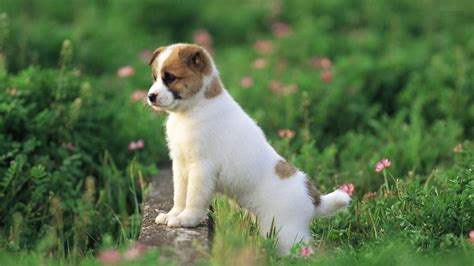 puppy photography 1080p wallpapers hd wallpapers high australian cattle dog puppy high resolution
