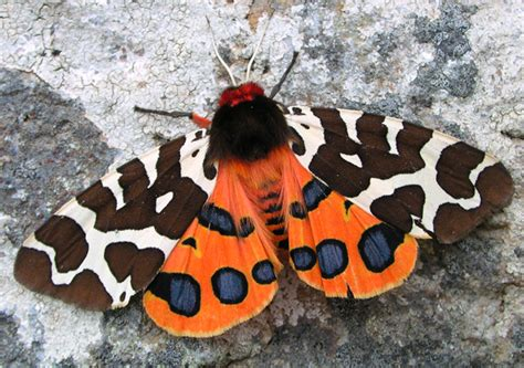 Garden Tiger Moth by Butterfly Conservation Garden Tiger