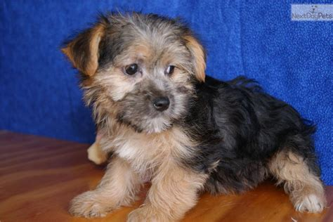puppies for sale green bay wi morkie puppies yorkie maltese dogs 650 morkie puppies yorkie maltese breeds picture