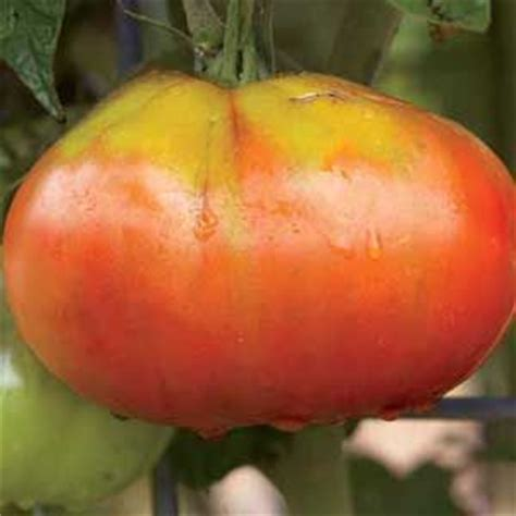 Tomato Raflesia 177 best vegetables and fruits images on