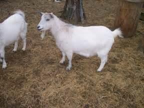 goat breed 101 fainting goats hoegger farmyard