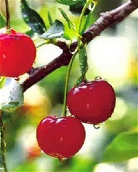 buah ceri dan gambar segar aku buah sehat