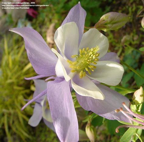 Aquilegia Origami Mix - plantfiles pictures aquilegia origami hybrid columbine