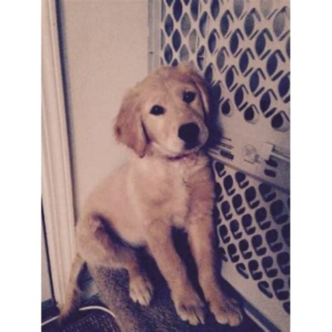golden retriever puppies for sale in rochester mn golden retriever puppies and dogs for sale and adoption in michigan freedoglistings