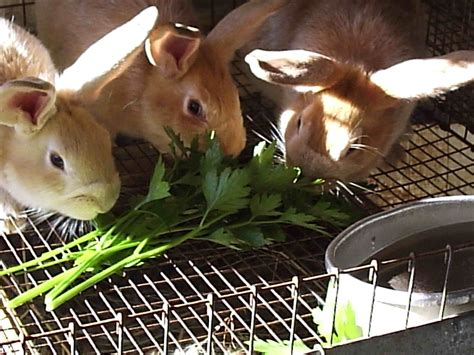 Snack Kelinci Bunny Nature naturally feeding rabbits rise and shine rabbitry