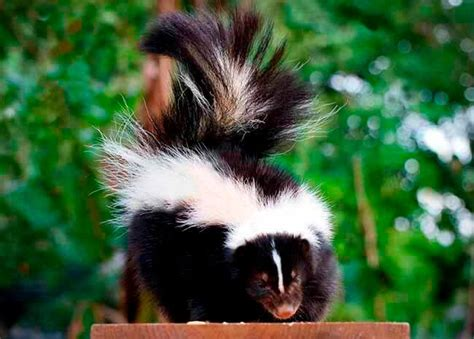 How To Get Rid Of Skunk In Backyard by How To Get Rid Of Skunks Stopping Pests