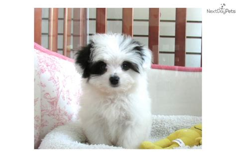 maltipom puppies malti pom maltipom for sale for 850 near jersey new jersey 4f98d015 0f51