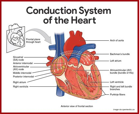 universitybeats compearsoneducation reproductive system cardiovascular system anatomy and physiology study guide